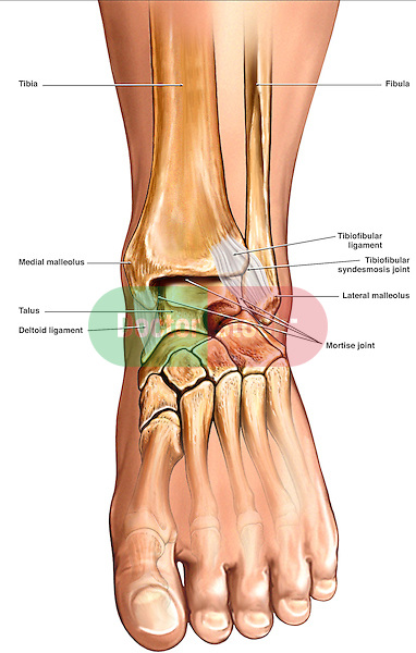 This stock anatomical exhibit reveals a single anterior view of the left lower leg, ankle and foot. Clearly illustrated and labeled within this view are the main bones and ligaments of the ankle. Labels include the tibia, fibula, medial malleolus, talus, deltoid ligament, tibiofibular ligament, tibiofibular syndesmosis joint, lateral malleolus and mortise joint.