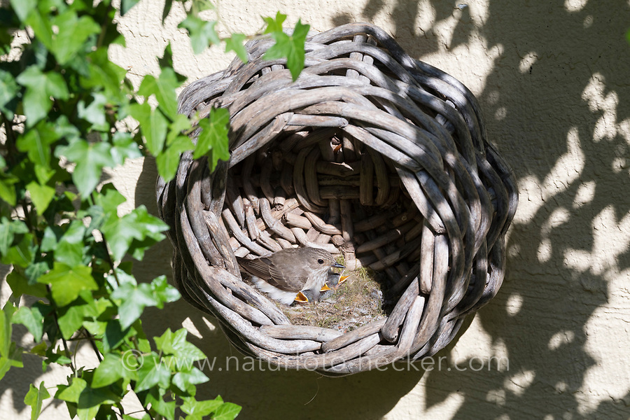 Grauschnäpper, Grau-Schnäpper brütet in einem alten Korb am Haus, mit Küken, fütternd, Jungvögel, Nest, Muscicapa striata, Spotted Flycatcher, Le Gobemouche gris