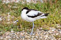 Advoset (Recurvirostra avosetta)