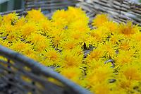 Löwenzahn-Blüten, frisch geerntete Blüten werden auf einem Tablett getrocknet, trocknen, Trocknung, Löwenzahnblüten, Löwenzahn-Ernte, Löwenzahnernte, Kräuterernte, Kräuter sammeln, Löwenzahn, Wiesen-Löwenzahn, Wiesenlöwenzahn, Gemeiner Löwenzahn, Gewöhnlicher Löwenzahn, Kuhblume, Taraxacum officinale, Taraxacum sect. Ruderalia, Dandelion, common dandelion, leaf, leaves, Dent de lion