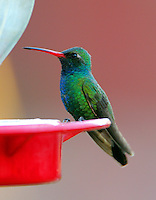 Adult male broad-billed hummingbird at feeder