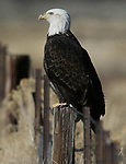 A bald eagle sits on a ranch in Minden, Nev., on Thursday, Feb. 1, 2018. <br /> Photo by Cathleen Allison/Nevada Momentum
