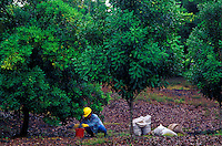Worker hand harvesting macadamia nuts with bags filled with already harvested nuts, Mauna Loa Macadamia Nut Corporation orchards, Keaau