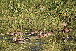 Damon, Texas; a black-bellied whistling duck parent watching its clutch of 8 ducklings as they feed amongst the water plants and green algae on the surface of the slough in late afternoon sunlight