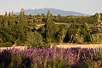 Europe/France/Rhône-Alpes/26/Drôme/Salles-sous-Bois: Champ e Lavande et sommet du Ventoux