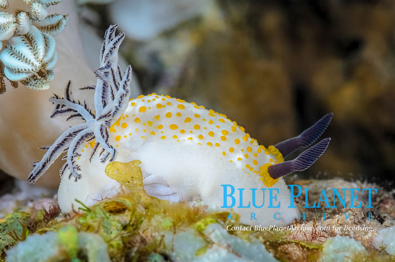 Sea slug or nudibranch, Taringa halgerda, laying eggs, Anilao, Batangas, Philippines, Pacific Ocean