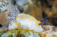 Sea slug or nudibranch, Taringa halgerda, laying eggs, Anilao, Batangas, Philippines, Pacific Ocean