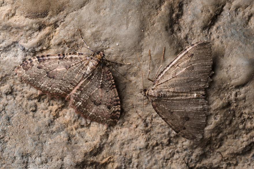 Tissue Moths {Triphosa dubitata} hibernating in a limestone cave. Peak District National Park, Derbyshire, UK. October.