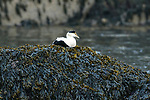 Common eider male sitting on seaweed covered rock, Winter Harbor, Maine