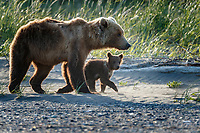 Brown Bear sow and spring cub walk on sand and shore with driftwood and grasses in Lake Clark National Park.  Silver Salmon Creek area. Western Alaska  Summer<br /> <br /> Photo by Jeff Schultz/  (C) 2020  ALL RIGHTS RESERVED