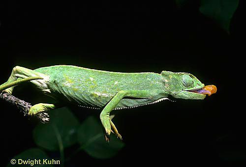 CH03-030z  African Chameleon - preparing to shoot out tongue to catch prey - Chameleo senegalensis