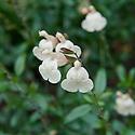 Salvia 'Creme Caramel', mid October.
