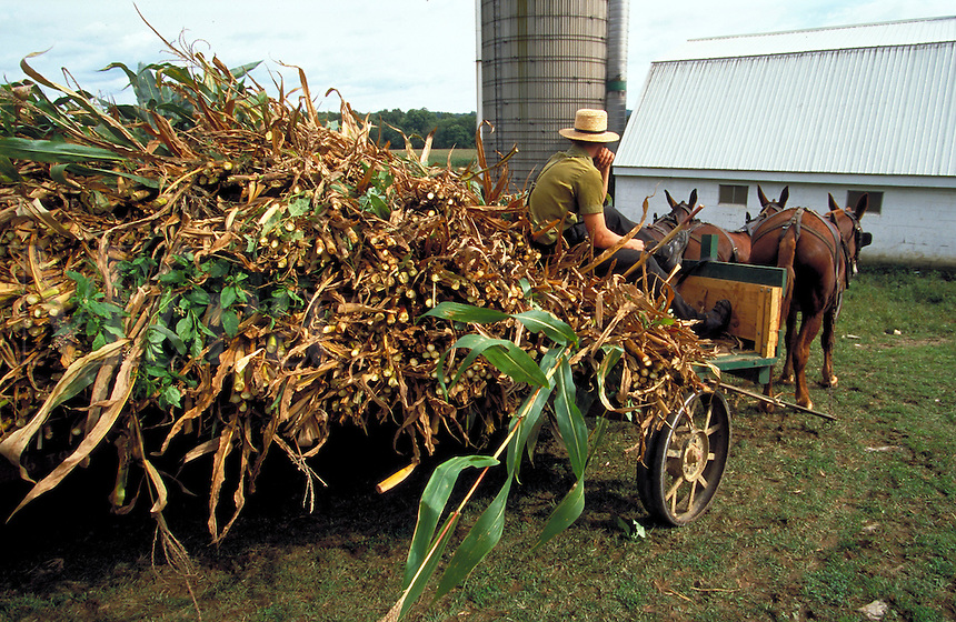 Harvesting with horse power - Mule team hauling a cart load of corn stalks. Strasburg Pennsylvania USA Lancaster County.