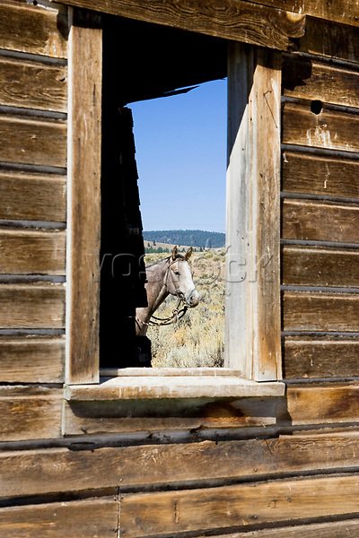 horse in barn window, wildwest, Oregon, USA