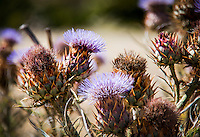 A cluster of thistles provides examples of multiple stages in a thistle's life.  Oyster Bay Regional Shoreline on San Francisco Bay.