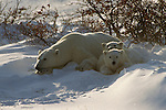 A polar bear mother rests in the snow with two cubs in Churchill, Manitoba, Canada