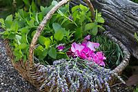 Apothekerrose, Zitronenmelisse, Lavendel als Zutaten für einen Beruhigungstee, Tee, Kräutertee, Heiltee, Kräuterernte in einem Korb. tea, herbal tea, herb tea. Essig-Rose, Essigrose, Apotheker-Rose, Gallische Rose, Gallica-Rose, Gallica-Rosen, Provins-Rose, Rose, Rosen, Rosa gallica officinalis, Rosa gallica, Gallic rose, French rose, rose of Provins, le rosier de France, rosier de Provins. Zitronen-Melisse, Melisse, Melissa officinalis, Bee Balm, Lemon Balm. Echter Lavendel, Schmalblättriger Lavendel, Ernte, trocknen, Blüten, Lavandula angustifolia, Lavandula officinalis, Lavandula vera, Lavender, common lavender, true lavender, narrow-leaved lavender, La Lavande officinale, Lavande vraie, Lavande à feuilles étroites
