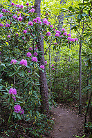 New River Gorge National Park, West Virginia.  Rhododendron along the Endless Wall Trail from Fern Creek Trailhead.