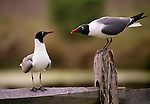 Laughing gulls, Cape May State Park, New Jersey