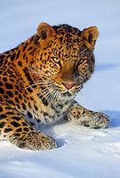 AMUR LEOPARD. (Panthera pardus orientalis). Cold-climate subspecies..Rare & Endangered. .