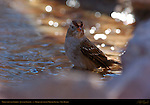 White-crowned Sparrow, Juvenile Bathing, Bosque del Apache Wildlife Refuge, New Mexico