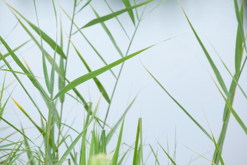 Europa, DEU, Deutschland, Nordrhein-Westfalen, Niederrhein, Nettetal, Naturpark Schwalm-Nette, Schilf, Natur, Umwelt, Pflanzen, Pflanzenkunde, Botanik, Biologie, <br /> <br /> [Fuer die Nutzung gelten die jeweils gueltigen Allgemeinen Liefer-und Geschaeftsbedingungen. Nutzung nur gegen Verwendungsmeldung und Nachweis. Download der AGB unter http://www.image-box.com oder werden auf Anfrage zugesendet. Freigabe ist vorher erforderlich. Jede Nutzung des Fotos ist honorarpflichtig gemaess derzeit gueltiger MFM Liste - Kontakt, Uwe Schmid-Fotografie, Duisburg, Tel. (+49).2065.677997, ..archiv@image-box.com, www.image-box.com]