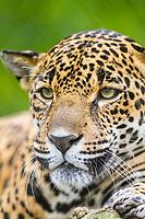 jaguar, Panthera onca, Costa Rica