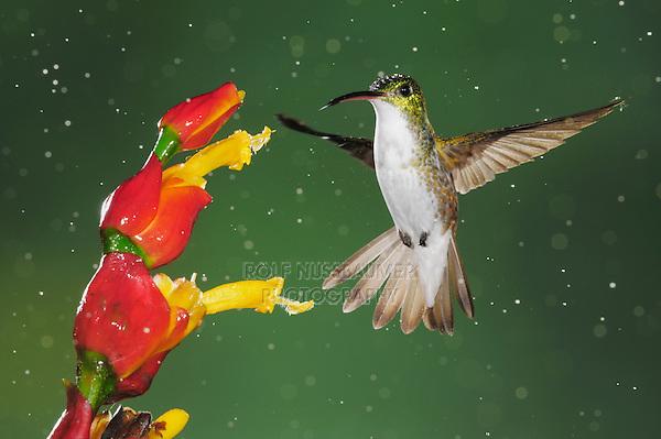 Andean Emerald (Amazilia franciae), adult feeding from flower during rain fall,Mindo, Ecuador, Andes, South America
