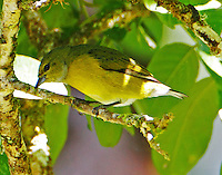 Black-and-Yellow Tanager