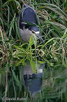 0204-08yy  Black-crowned Night Heron - Nycticorax nycticorax © David Kuhn/Dwight Kuhn Photography