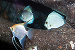 Silver angelfish and discus swimming in wood habitat