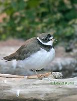 "0102-08vv  Semipalmated Plover ""Shore bird"" - Charadrius semipalmatus  © David Kuhn/Dwight Kuhn Photography."