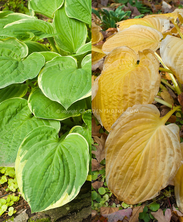 Hosta Christmas Tree with Lysimachia in two stages, summer blue foliage and biscuit tan brown in autumn fall foliage