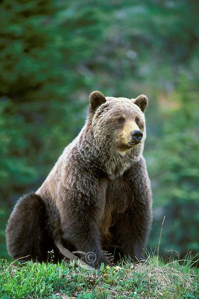 Grizzly bear (Ursus arctos), Northern Rockies.