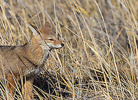 South American gray foxes are a common sight in Patagonia.  This is a juvenile kit.
