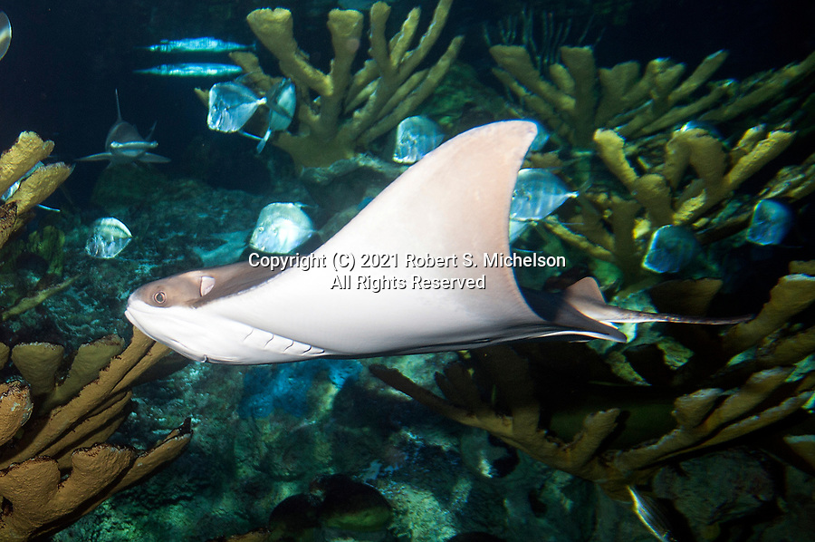 Cownose ray swimming left over coral reef.