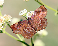 Female sickle-winged skipper