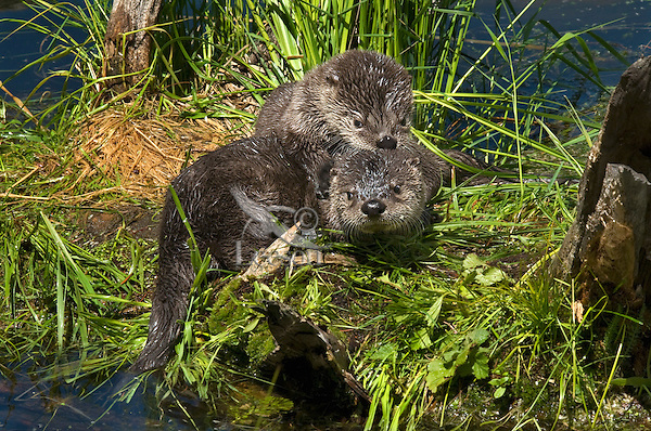 Northern River Otter (Lontra canadensis) kits playing.  Western U.S., June..
