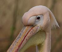 Rosapelikan, Rosa-Pelikan, Rosa - Pelikan, Portrait, Pelecanus onocrotalus, White Pelican, Pélican blanc