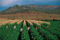 Topping Tobacco, Bambino's Farm, Dimbulah, 2003.