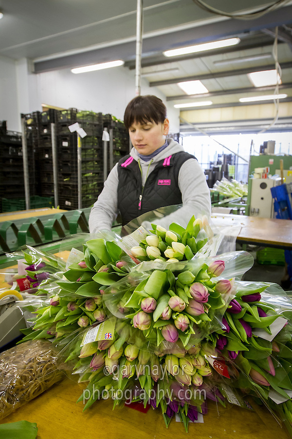 Packing tulips in a packhouse for retail customers - Lincolnshire, January