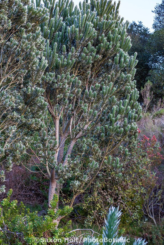 Leucadendron argenteum Silver Tree, South African native tree with gray foliage; Wild Ridge Organics