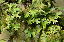 Tree Lungwort (Lobaria pulmonaria) lichen growing on a tree branch. Highlands, Scotland, UK. October.