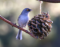 Adult yellow-eyed junco at pine cone feeder