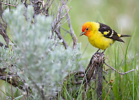 It was a very active spring for Western Tanagers in the western United States.
