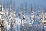 Sunlight on snow covered trees in western Montan
