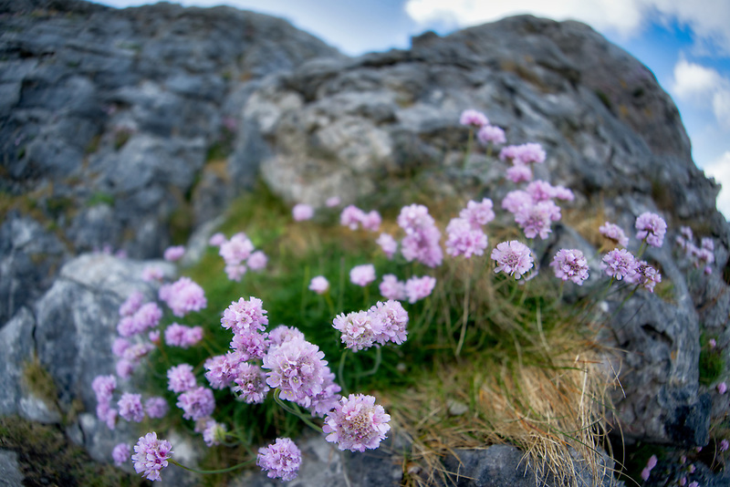 Sea Thrift or Sea Pink gowing in the Burren. County Clare, Ireland