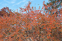 Crabapple Indian Magic in fruits with blue sky showing many branches laden with crab apples . Crab apple