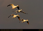 Snow Geese in Flight at Sunrise, Stormy Morning, Bosque del Apache Wildlife Refuge, New Mexico