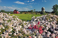 Silo on farm with wild roses in Marion County Oregon